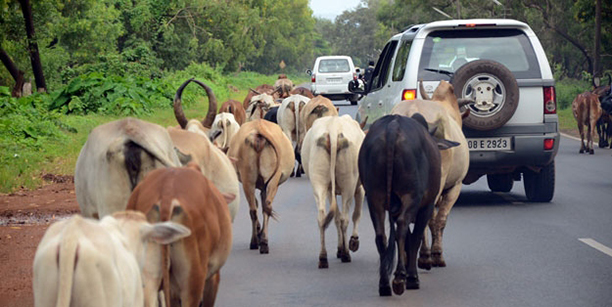 Keep cattle off the roads copy